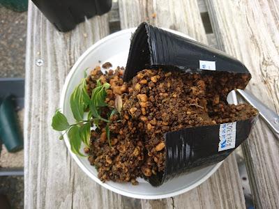 小さい根鉢