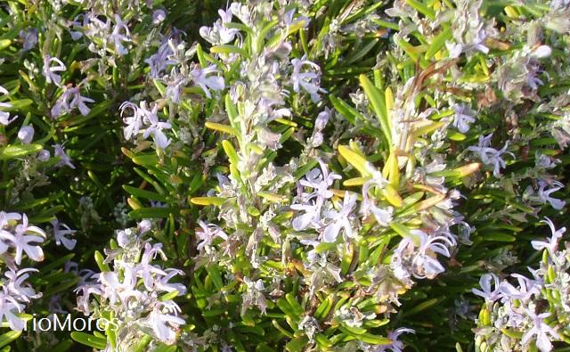 Verticilastro en Rosmarinus officinalis (Romero)