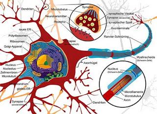 Neuron_Synapse.jpg