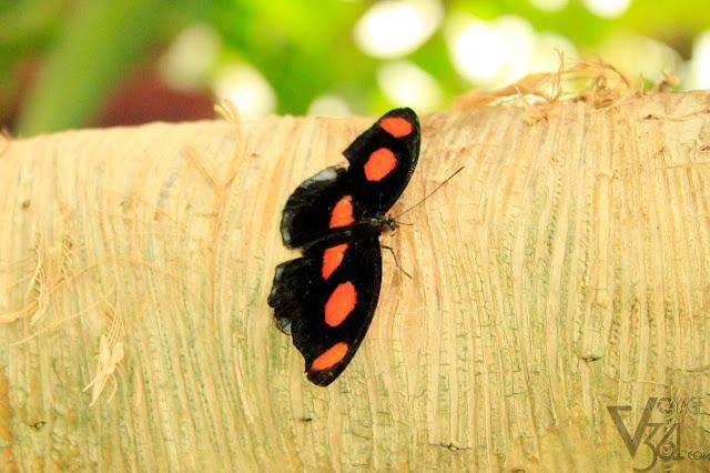 Grecian-Shoemaker Butterfly