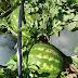 Safra da melancia está em fase de Colheita no Rio Grande do Sul