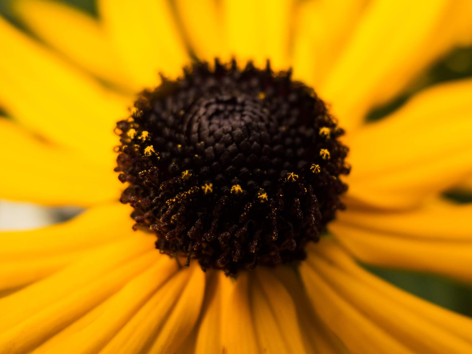 Macro of the centre of a Black Eyed Susan flower.