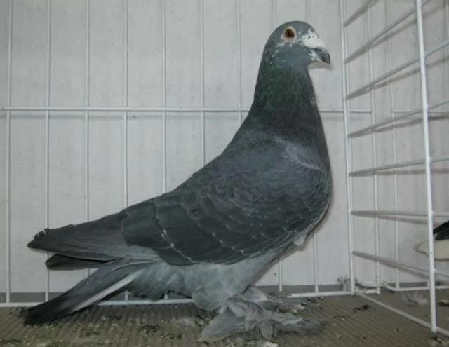 Hungarian Giant Homer Pigeon