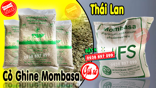 Giá sỉ giống cỏ ghine mombasa