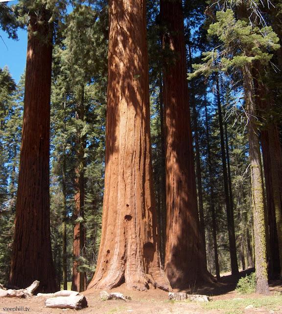 arbre le plus grand du monde séquoia