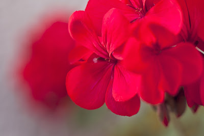 Geranium Flower, Livng from glory to glory blog...