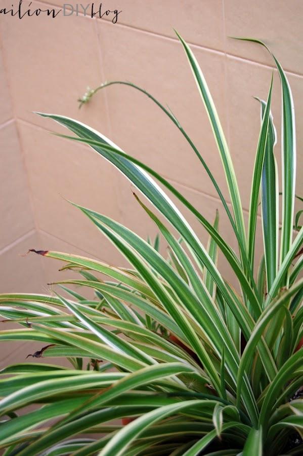 planta facil cuidar cinta