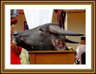 Tradisi Tumbal ( Mengorbankan ternak hewan sembelihan ) novieffendi.com