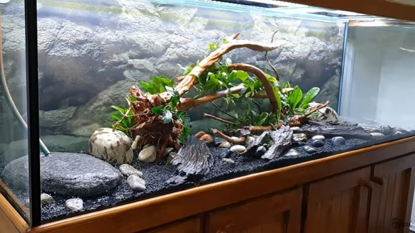 Planted Oscar Fish Tank Aquascaping Completes
