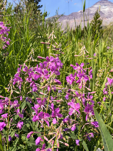 Fireweed along Three Bears Lake