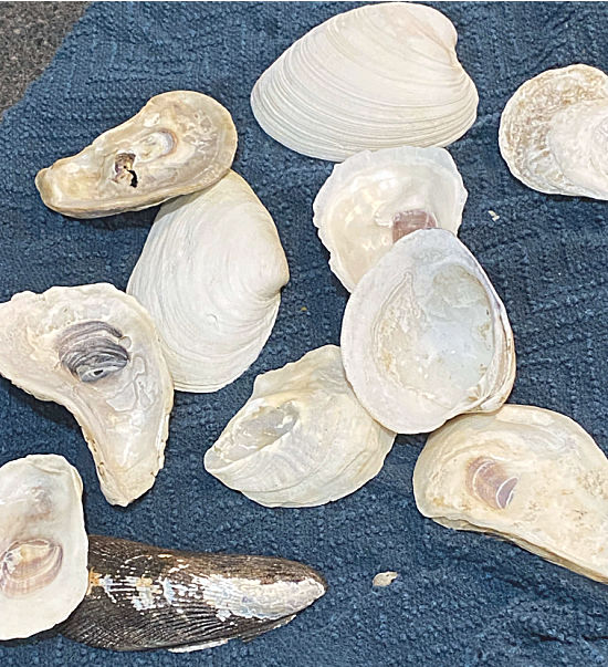 Oyster and clam shells
