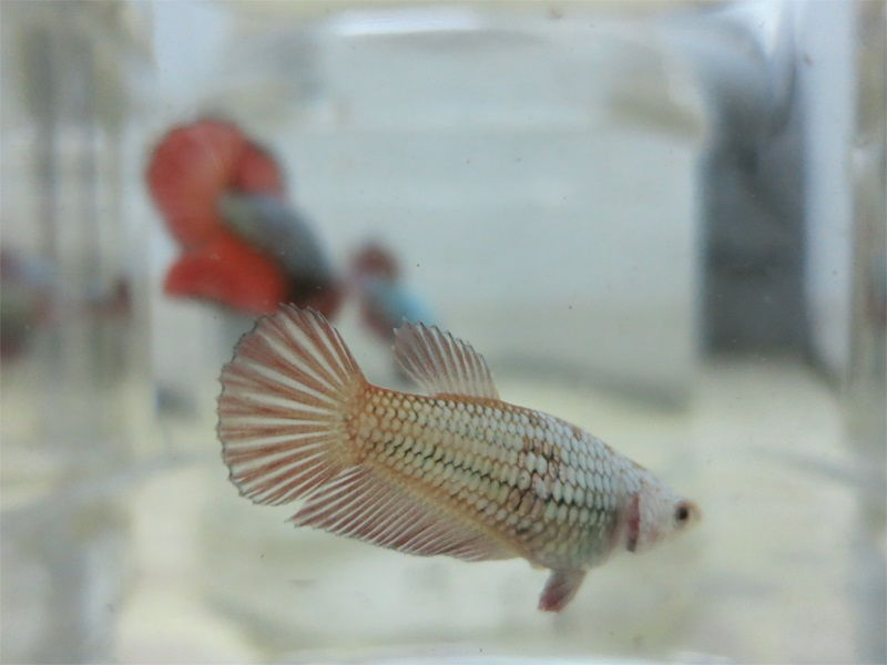 Copper Female Betta Fish Image