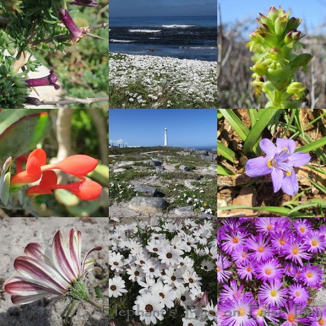 Spring flowers at Kommetjie in September in purple and white