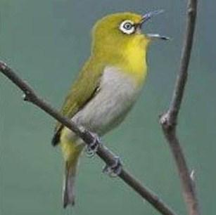 Cara Ampuh Dan Akurat Membuat Burung Pleci/Kacamata Buka Paruh