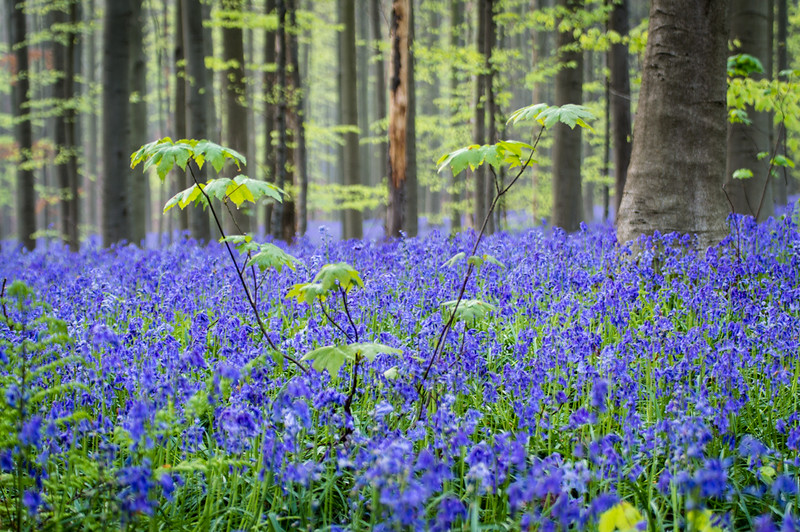Hallerbos, blue forest Belgium, Hallerbos forest Belgium, blue forest; forest belgium; belgium forest; forest in belgium; forests in belgium; bluebell forest; bluebells forest; bluebells in forest; hallerbos forest; halle belgium; hallerbos belgium; the blue forest; belgian bluebells; hallerbos forest belgium; bluebell forest belgium; the blue forest halle belgium; belgium bluebell forest;