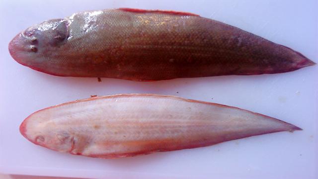 manfaat ikan lidah - manfaat ikan sebelah