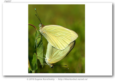 Mariposa blanca de la col (Ascia monuste)