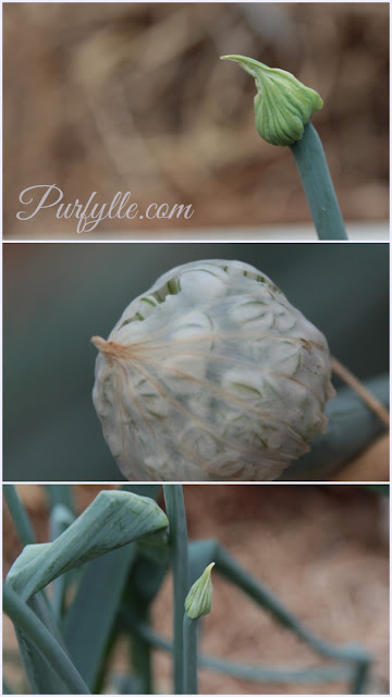 an onion flower bud becomes a ball about to explode into a profusion of petals