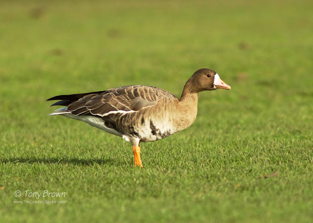 Albifrons, Wild Grey Geese