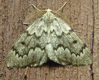 Nepytia canosaria - Fausse arpenteuse de la pruche
