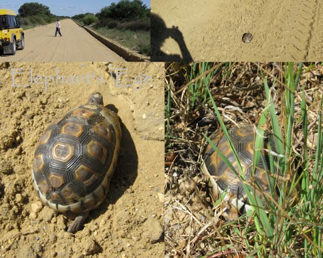 Chersina angulata Bowsprit tortoise