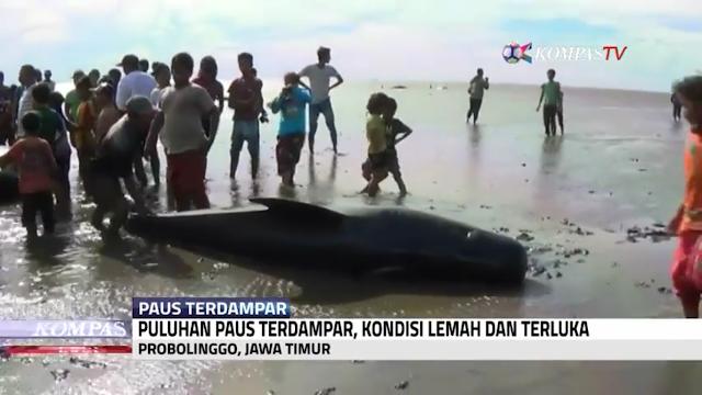 VIDEO : KASIHAN, Di Probolinggo Ada 25 Paus Terdampar Di Pinggir Pantai