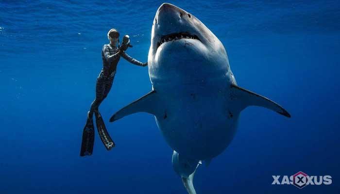 Hewan buas yang ada di Indonesia - Ikan hiu putih