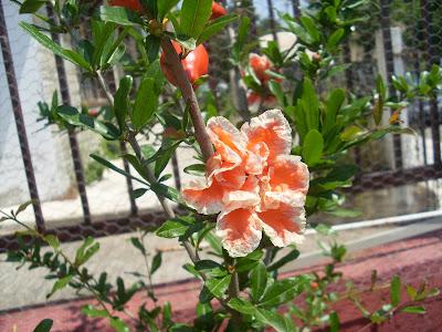 διακοσμητική ροδιά με πανέμορφα άνθη