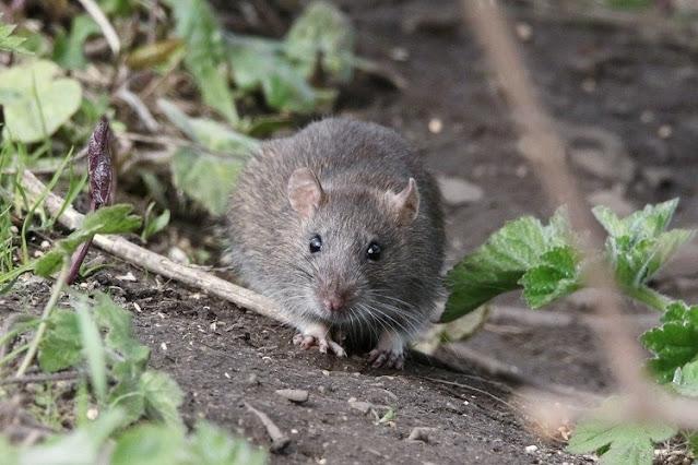 Control de plagas de roedores en invierno