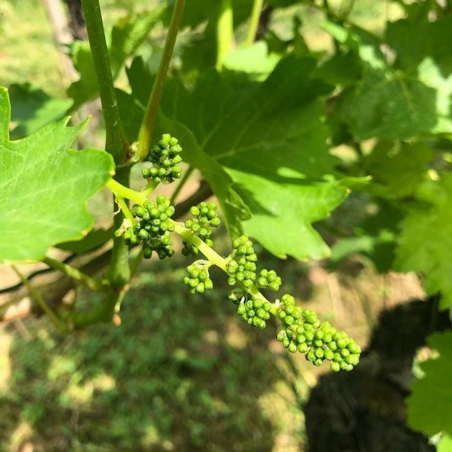 Bibit anggur berbunga Langsa