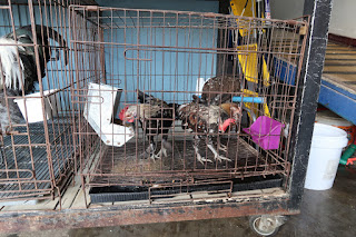 Small breed chickens for sale in Puriscal