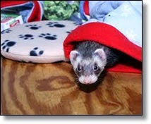 Picture of ferret for Christmas