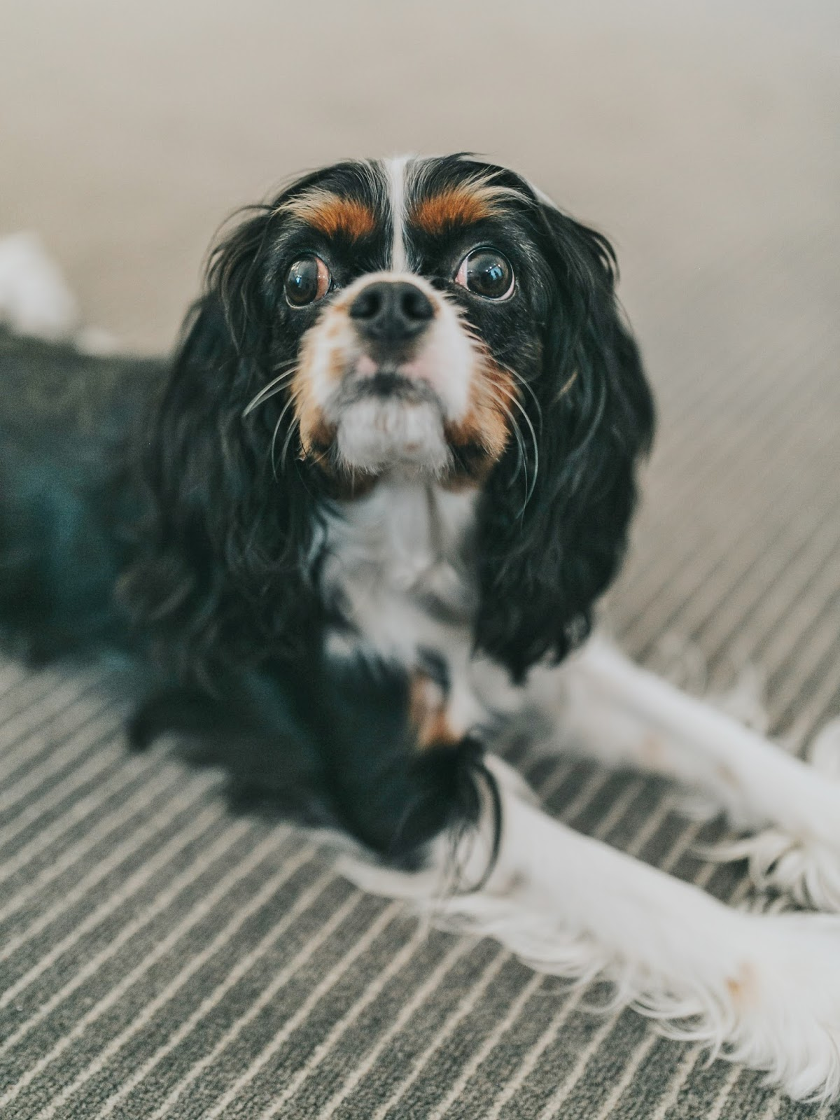 Bijuleni - Pet Friendly Hotel for a Cavalier King Charles Spaniel