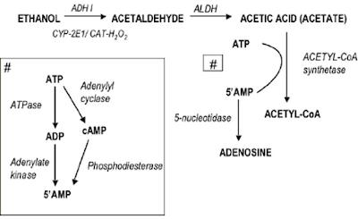 Adenosine formation from ethanol oxidation.