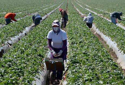 1600+ Vegetable Farm Workers Urgently Needed In Canada – Apply Now