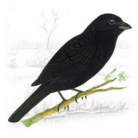 Pássaro Tiziu (Volatinia jacarina)