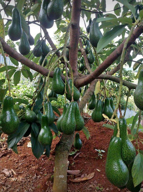 Stok melimpah! DM1 TERLARIS BIBIT POHON BUAH ALPUKAT ALIGATOR JUMBO DM Kota Bogor #bibit buah buahan
