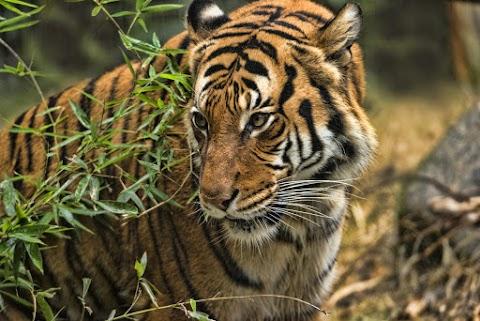 Megvizsgálták a köhögő tigrist: kiderült, hogy elkapta a koronavírust
