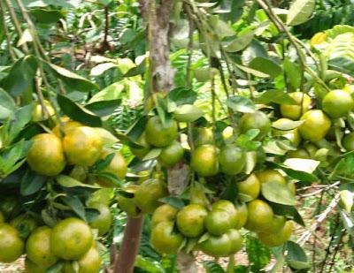 cara membuahkan buah jeruk | agar tanaman jeruk cepat berbuah | Penyebab tanaman jeruk sulit berbuah | budidaya tanaman jeruk | pohon jeruk sulit berbuah
