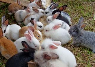 kelinci australia lucu
