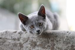 Jenis Kucing British Shorhair