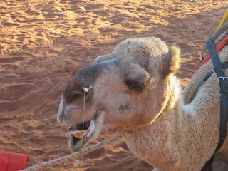 Camel From Uluru Camel Tours