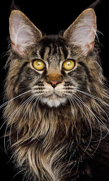 Picture of a beautiful brown tabby Maine Coon