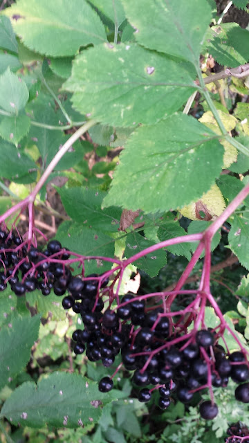 these pictures are zoomed in on leaves and elderberries to help you identify them