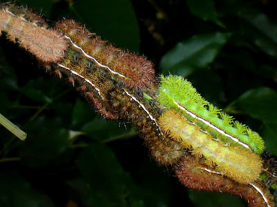 Automeris melmon caterpillar