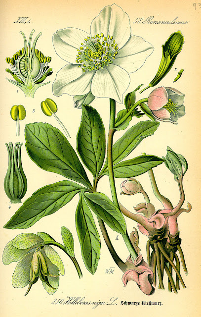 botanical illustration of white hellebore