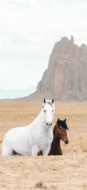 خلفية أحصنة برية بيضاء و بنية اللون في الحقول الجرداء