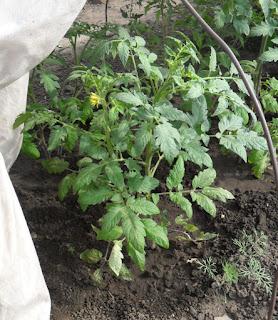 10 июня, помидоры с приходом тепла пошли в рост