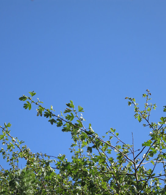 Hawthorn leaves against a blue sky