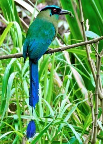 El pájaro péndulo, pájaro toh o barranquero Los momótidos, momotos, guardabarrancos